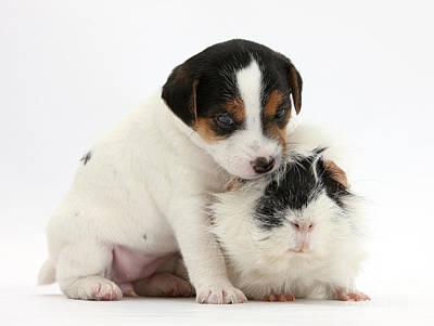 Black And White Jack Russell Terrier Puppies Photograph - Jack Russell Terrier Puppy And Guinea by Mark Taylor