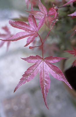 Benis Photograph - Japanese Maple (acer 'beni-maiko') by Maxine Adcock