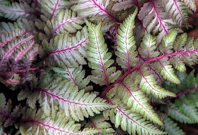 Photograph - Japanese Painted Fern by Chris Anderson