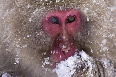 Sit-ins Photograph - Japanese Snow Monkey by Natural Selection Anita Weiner
