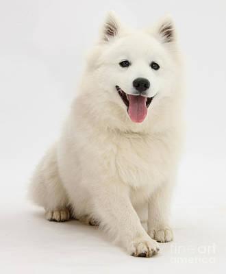 Japanese Puppy Photograph - Japanese Spitz Dog by Mark Taylor
