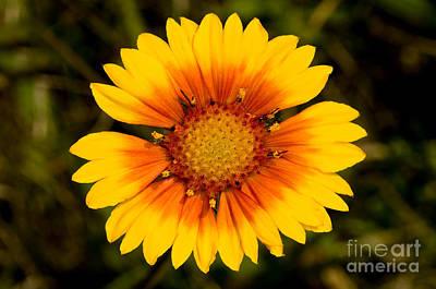 Photograph - Jasper - Brown-eyed Susan Wildflower 2 by Terry Elniski