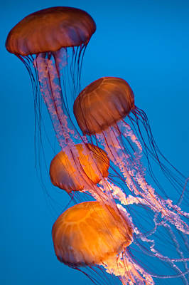 Photograph - Jellyfish by Utah Images