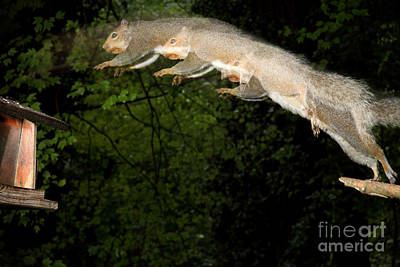 Jumping Gray Squirrel Art Print by Ted Kinsman
