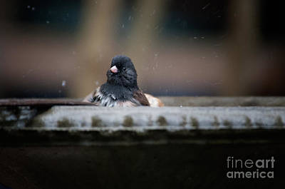 Art Print featuring the digital art Junco In The Birdbath by Carol Ailles