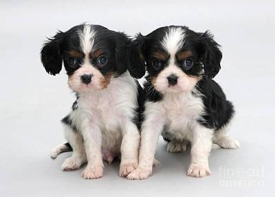 King Charles Spaniel Puppies Art Print by Jane Burton