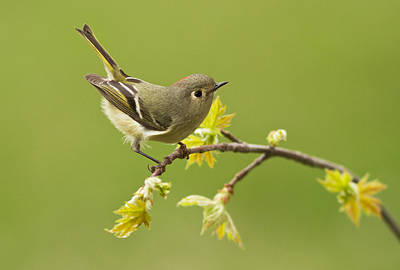 Ruby-crowned Kinglet Birds Photograph - Kinglet by Mircea Costina Photography