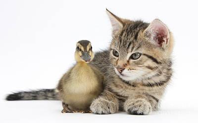 Mallard Ducklings Photograph - Kitten And Duckling by Mark Taylor