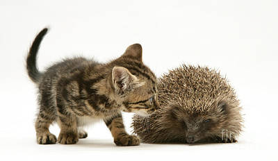 Photograph - Kitten Inspecting Hedgehog by Jane Burton