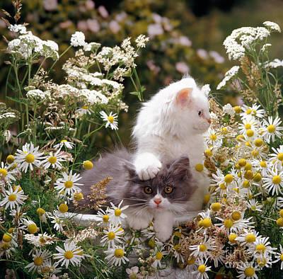 Animal Portraiture Photograph - Kittens Among Daisies by Jane Burton
