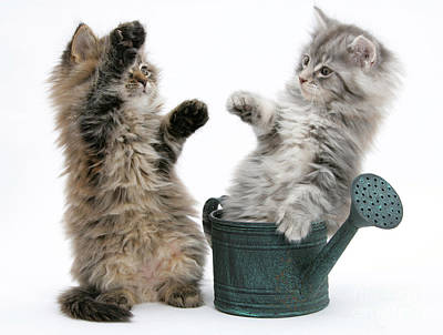 Coon Cat Photograph - Kittens And Watering Can by Mark Taylor