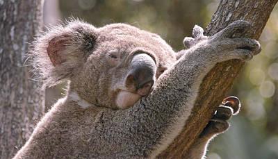 Photograph - Koala by Jocelyn Kahawai