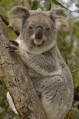 Photograph - Koala Phascolarctos Cinereus Portrait by Pete Oxford