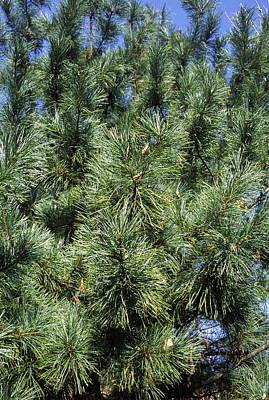 Pine Needles Photograph - Korean Pine (pinus Koraiensis) by Dr. Nick Kurzenko