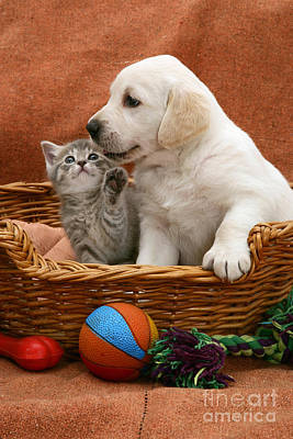 Animal Portraiture Photograph - Lab Puppy And Tabby Kitten by Jane Burton