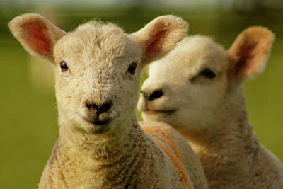 Focus On Foreground Photograph - Lambs by Ginny Battson