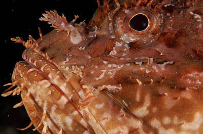 Large-scaled Scorpionfish Art Print by Alexis Rosenfeld