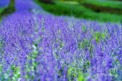 Lavender Flowers Photograph - Lavender by HD Connelly