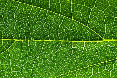Photograph - Leaf by Fabrizio Troiani