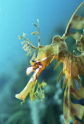 Leafy Sea Dragon Photograph - Leafy Sea Dragon by Peter Scoones