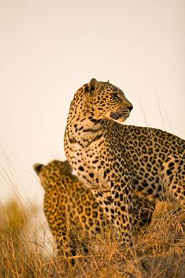 Leopard Panthera Pardus, Arathusa Art Print by Stuart Westmorland