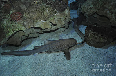 Photograph - Leopard Shark Courting, Blue Zoo by Mathieu Meur
