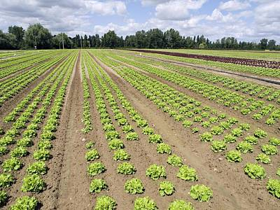 Lettuce Photograph - Lettuce Crop by Adrian Bicker