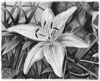 Drawing - Lily by Susan Schmitz