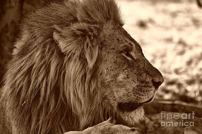 Photograph - lion of Chobe by Mareko Marciniak