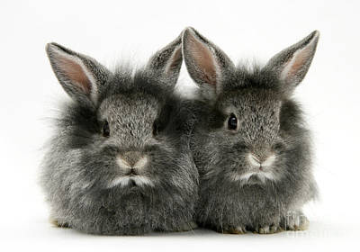 Photograph - Lionhead Rabbits by Jane Burton