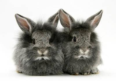 Photograph - Lionhead Rabbits by Jane Burton