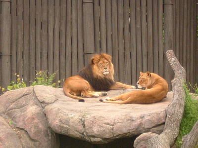Lions - The Happy Couple Relaxing - Cleveland Metro Zoo 1 Art Print by S Taylor