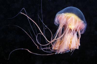 Cyanea Capillata Photograph - Lion's Mane Jellyfish by Alexander Semenov