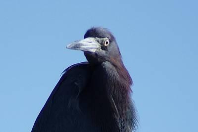 Photograph - Little Blue Heron II by Joe Faherty