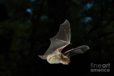 Little Brown Bat Art Print by Ted Kinsman
