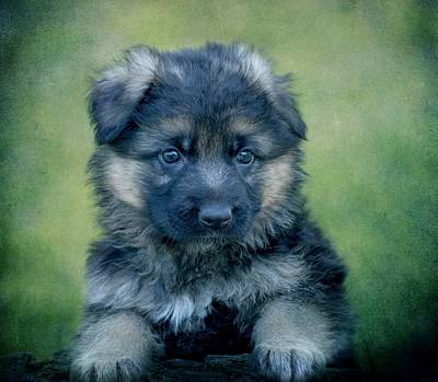 Photograph - Long Coated Puppy by Sandy Keeton
