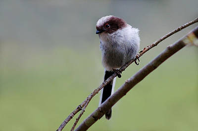 Photograph - Long Tailed Tit by Gavin Macrae
