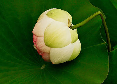 Photograph - Lotus by Jean Noren