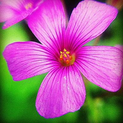 Naturediversity Photograph - #lucerne #alfalfa #flower #nature by Jason Fang