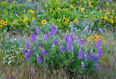 Photograph - Lupines by Jean Noren