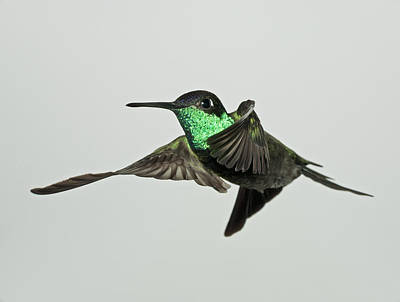 Flash Photograph - Magnificent Hummingbird In Flight by Gregory Scott
