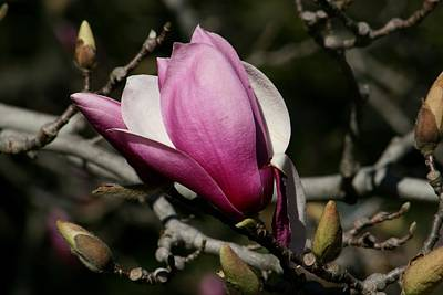Magnolia World Of Beauty Print by Valia Bradshaw