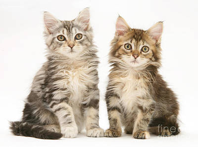 Photograph - Maine Coon Kittens by Jane Burton