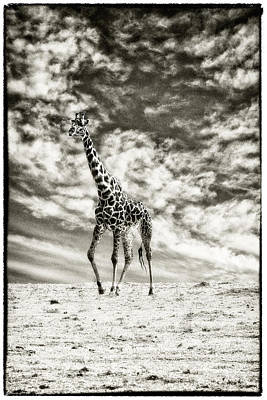 Photograph - Male Giraffe by Perla Copernik