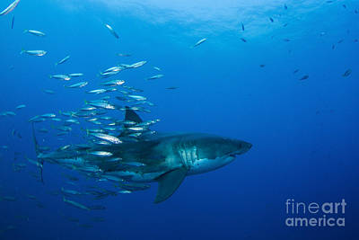 Photograph - Male Great White Shark And Bait Fish by Todd Winner