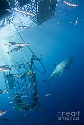 Cage Diving Photograph - Male Great White Shark And Divers by Todd Winner