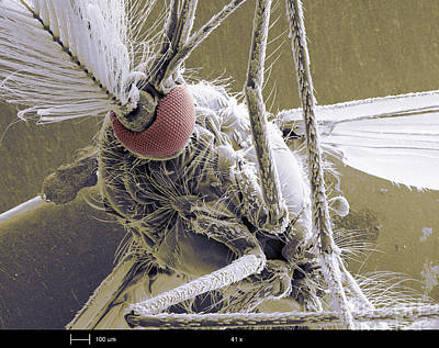 Male Mosquito Art Print by Ted Kinsman