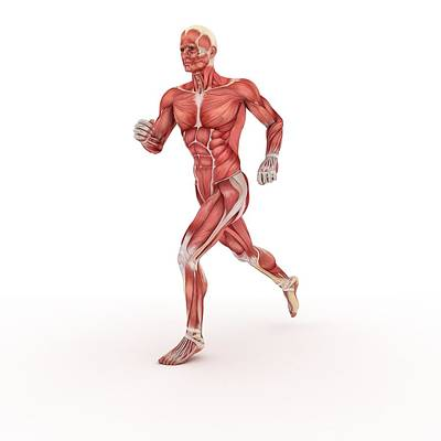 Male Body Photograph - Male Muscles, Artwork by Sciepro