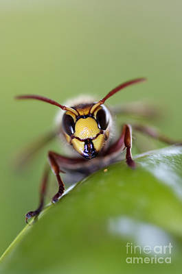 Hornet Photograph - Mandibles by Michal Boubin