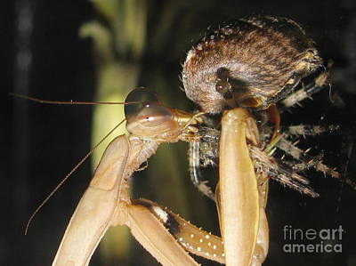 Photograph - Mantis Vs Spider by Tina Marie